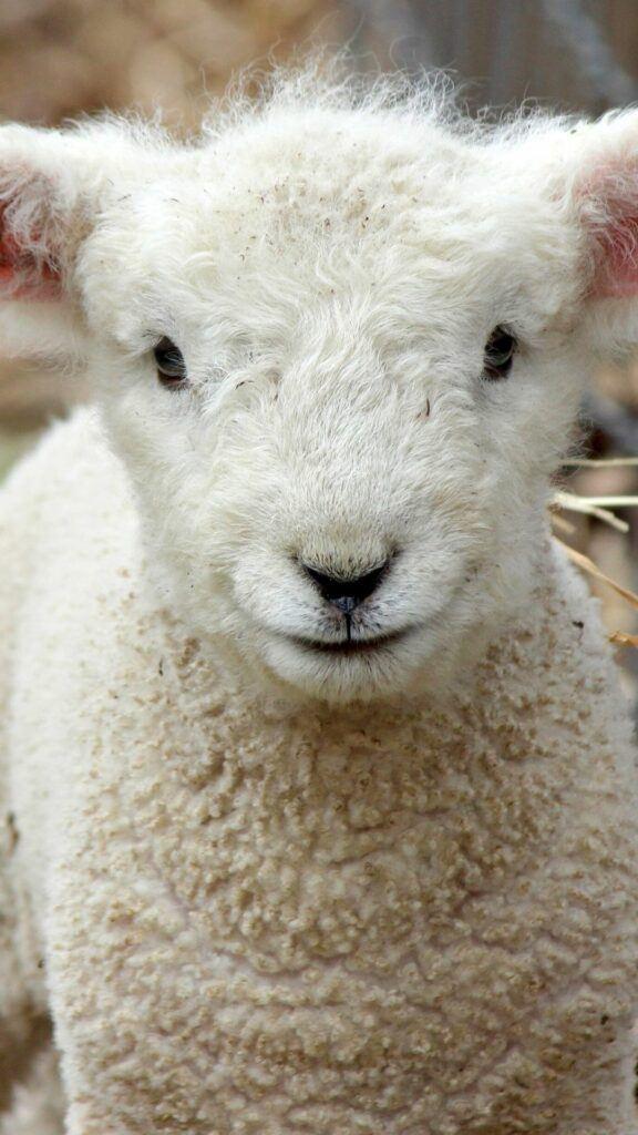 Cute iphone wallpaper - lamb