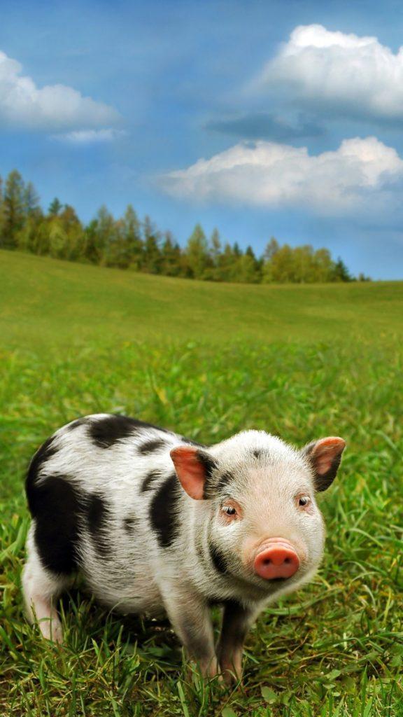 cute pig iphone wallpaper