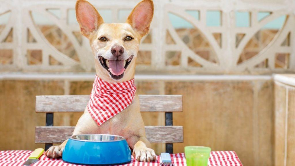 dog bib, dog waits for food, empty dog bowl, dog picnic