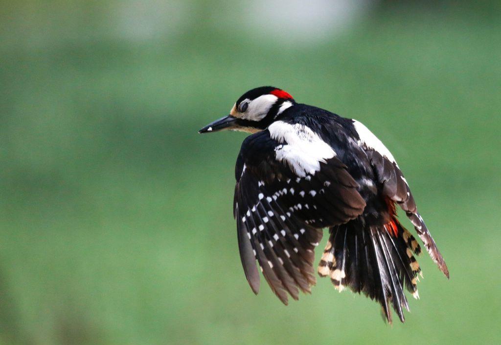 woodpecker, bird, flying