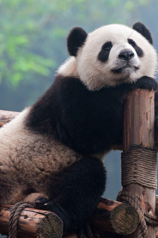 cute panda iphone wallpaper