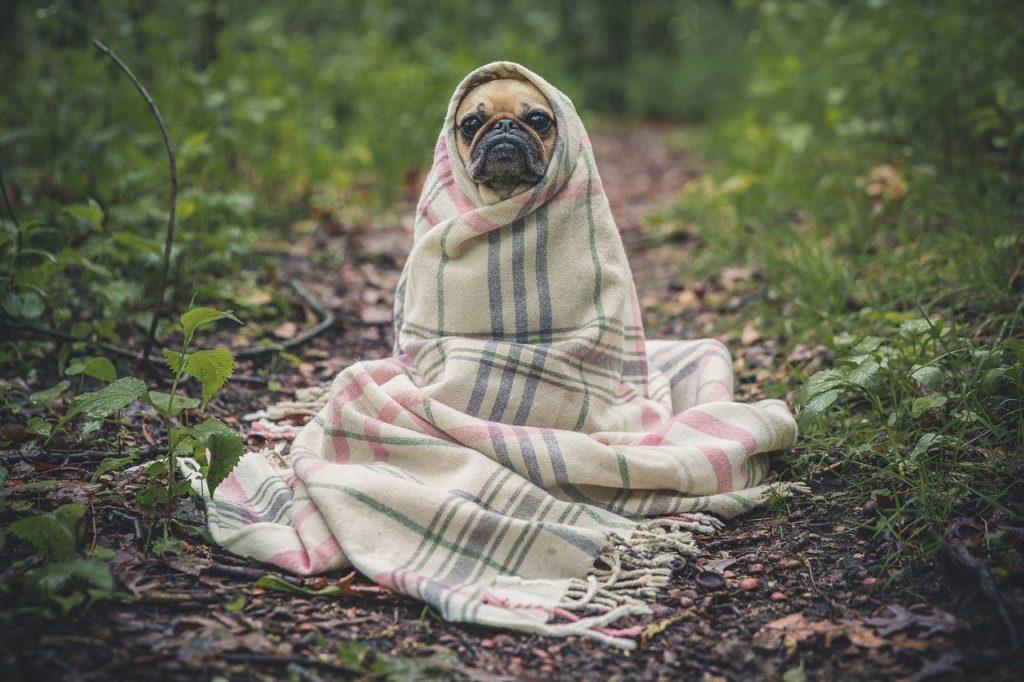 pug, dog, blanket
